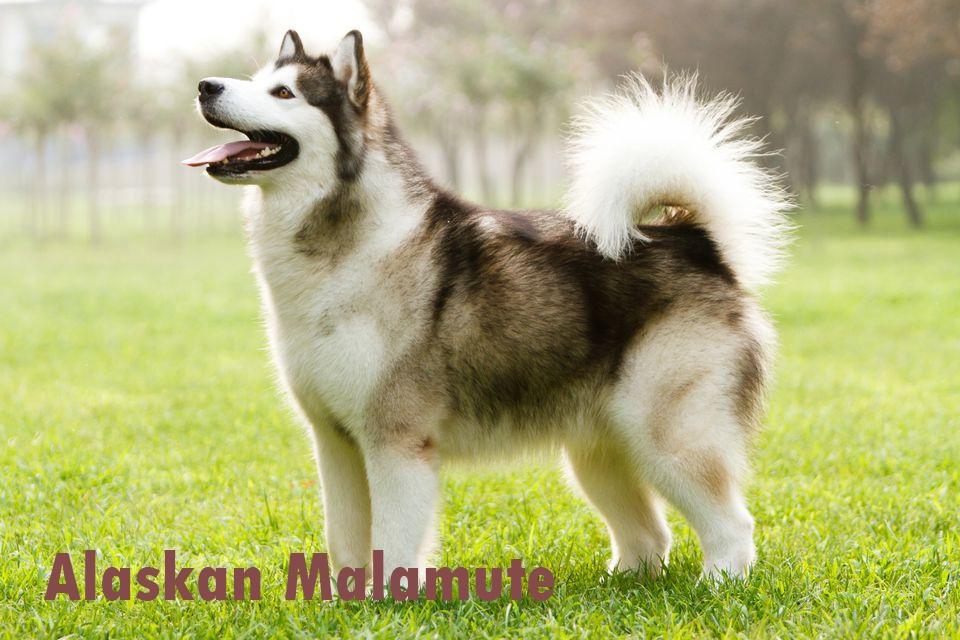 Alaskan - Malamute