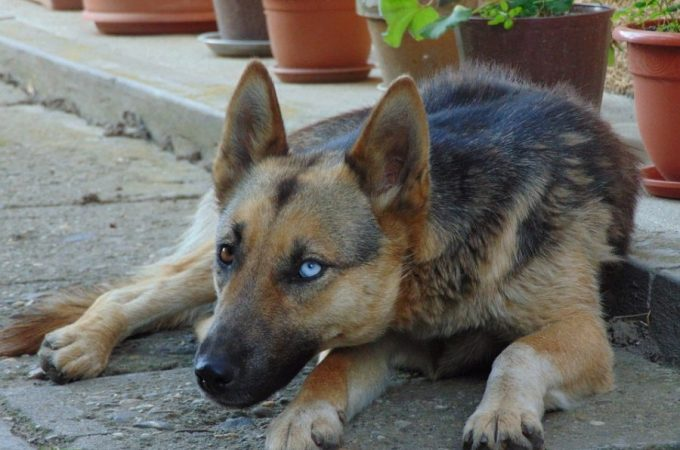 Remed To Relieve Your German Shepherd Husky Mix Joint Pain