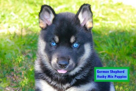 German - Shepherd - Husky - Mix