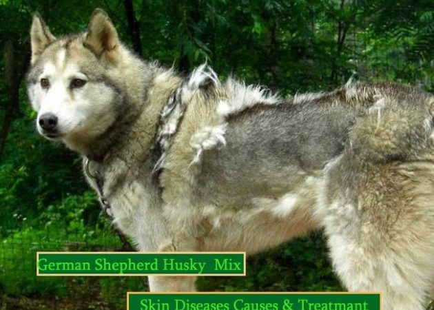 Itchy German Shepherd Husky Mix? Its Causes & Treatments