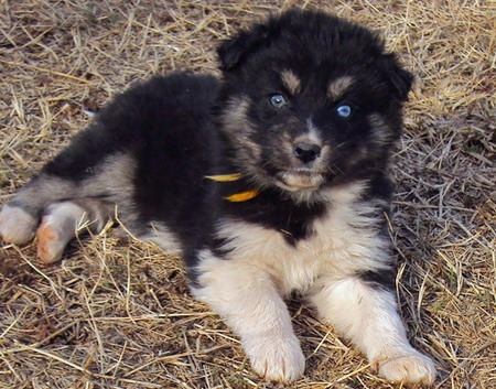 German - Shepherd - Husky - Mix - Puppies
