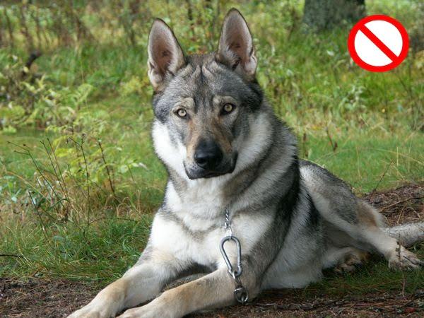 German - Shepherd - Husky