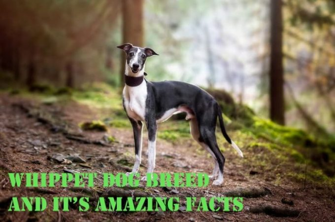Whippet Dog Breed – Let's Explore Its Amazing Facts