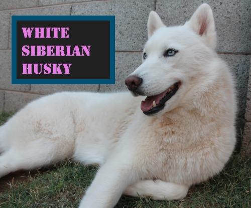 German - Shepherd - Husky - Mix