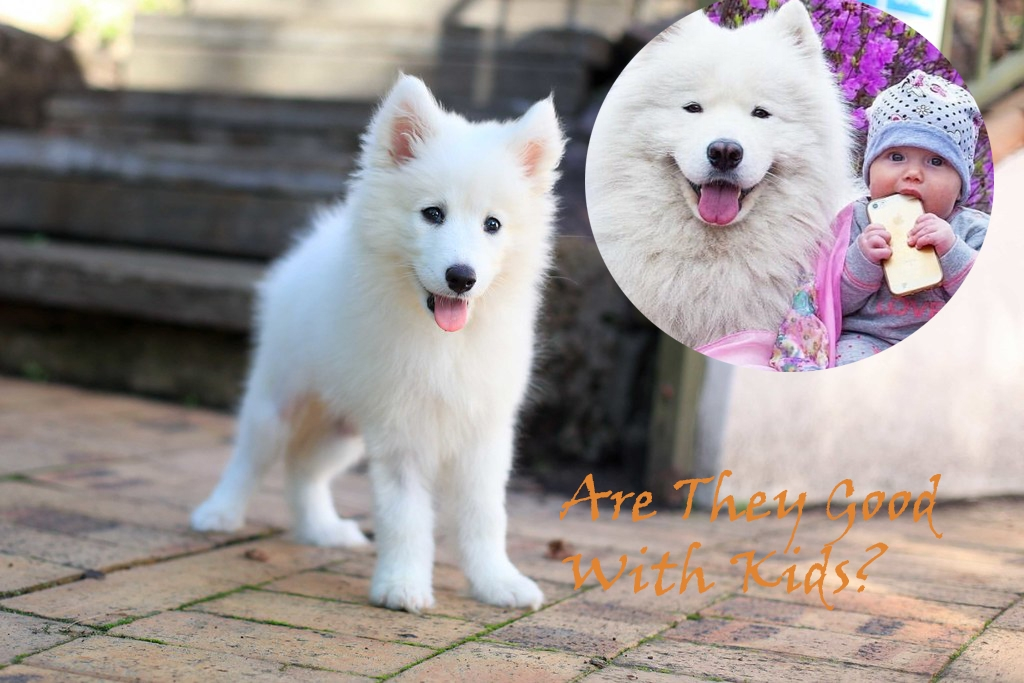 Samoyed-husky-mix