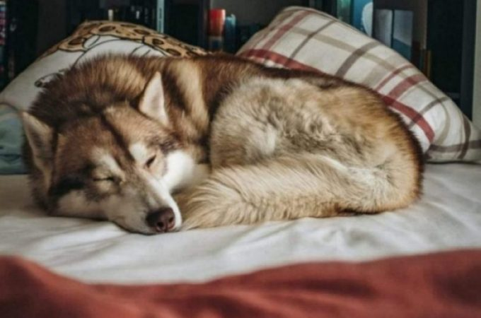How can you create healthy environment for German Shepherd Husky Mix?
