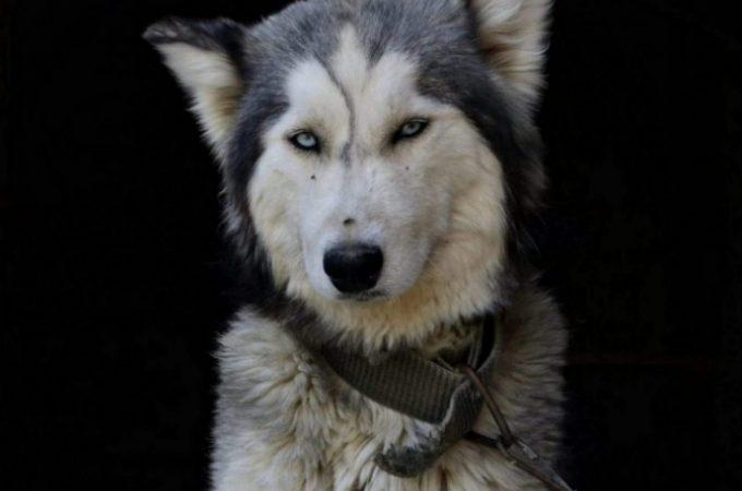 Can German Shepherd Husky Mix See In The Dark?