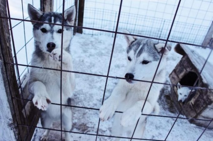 White Husky Mix Breeds