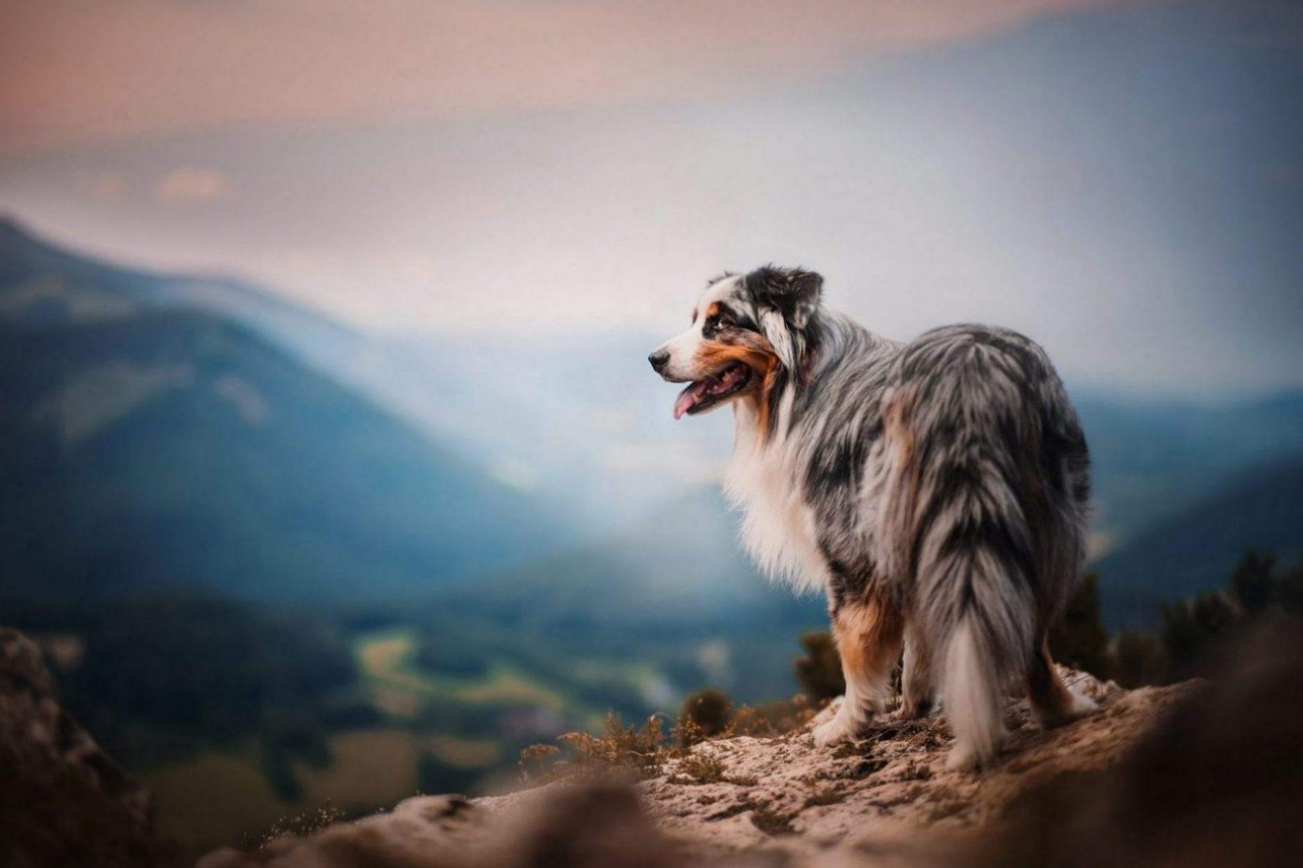 German-shepherd-husky-mix
