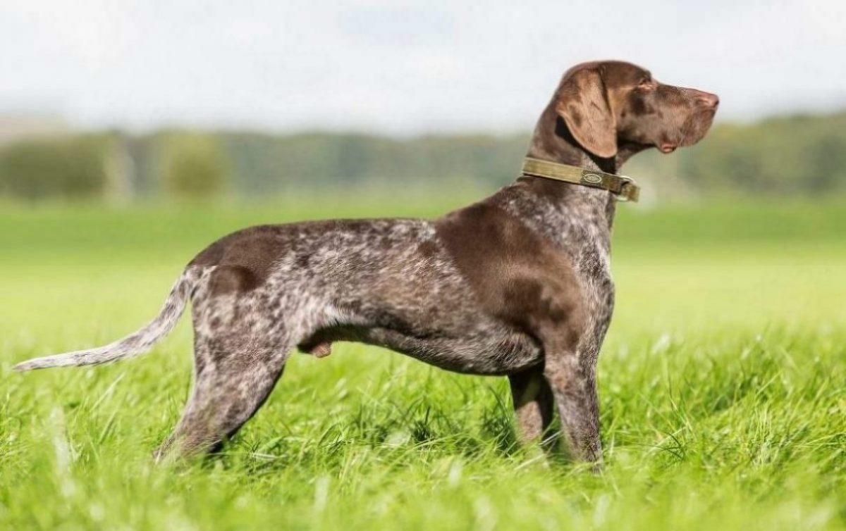 German-shortharied-pointer