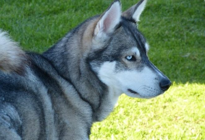 7 Facts About German Shepherd Husky Mix For Adoption