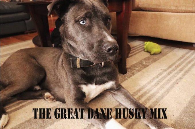 Husky Mix Breeds – The Great Dane Husky Mix