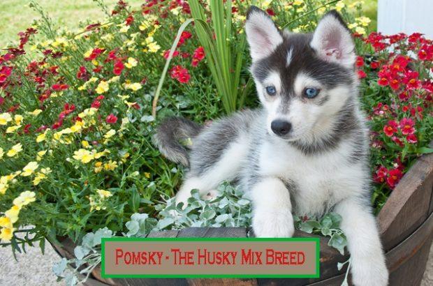 Pomsky-husky-mix-breeds