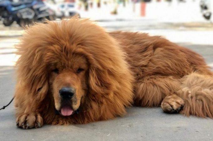 Top 5 Big Dog Breeds Of Year 2021