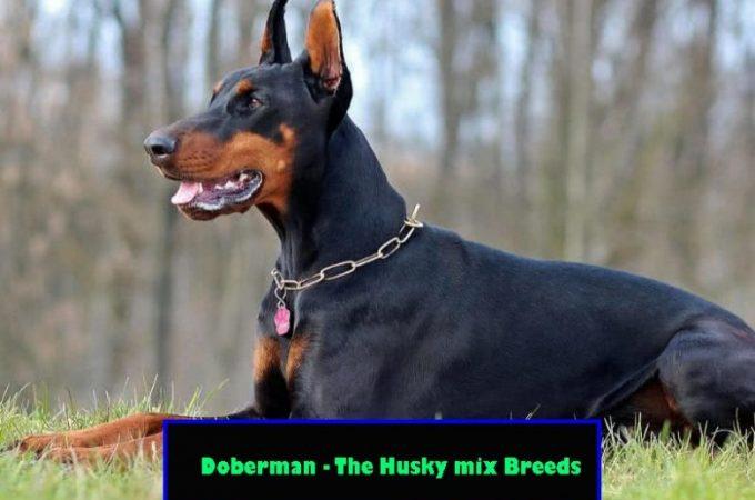 Should We Adopt Doberman? – Husky Mix Breeds