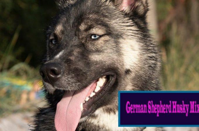 Why German Shepherd Husky Mix Suffers From Diarrhea?