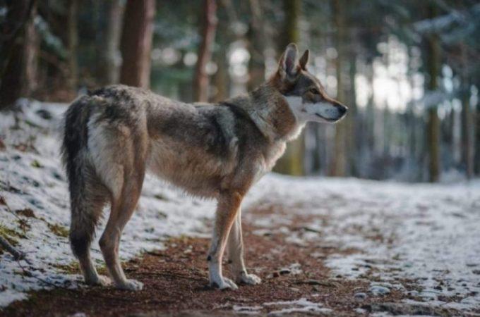 German Shepherd Husky Mix – A Complete Scoop On Gerberian Shepsky