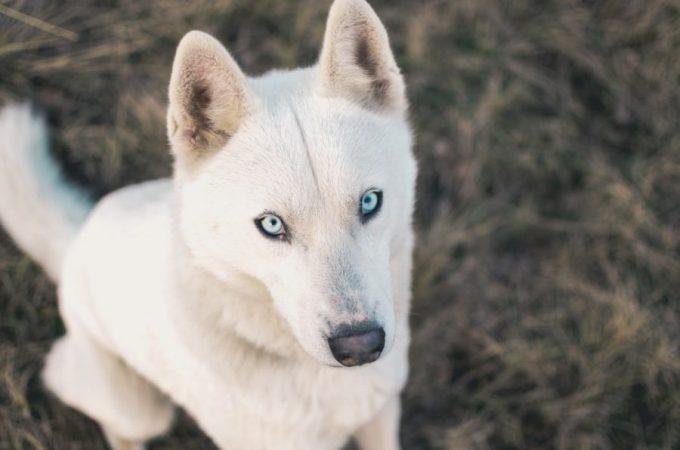 White German Shepherd Husky Mix Puppy & Adult