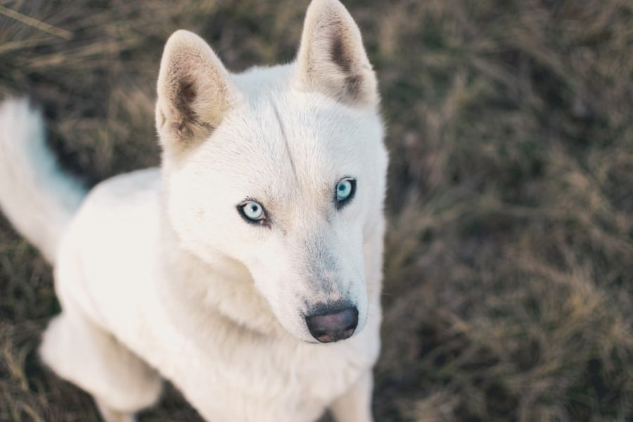 White-German-shepherd-husky