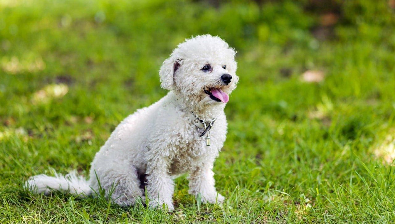 Bichon Fries dog breed