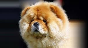 Chowchow dog