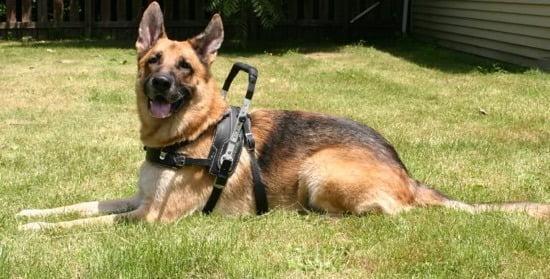 german shepherd therapy dog training