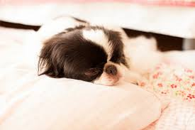 japanese chin dog breed-6 interesting facts